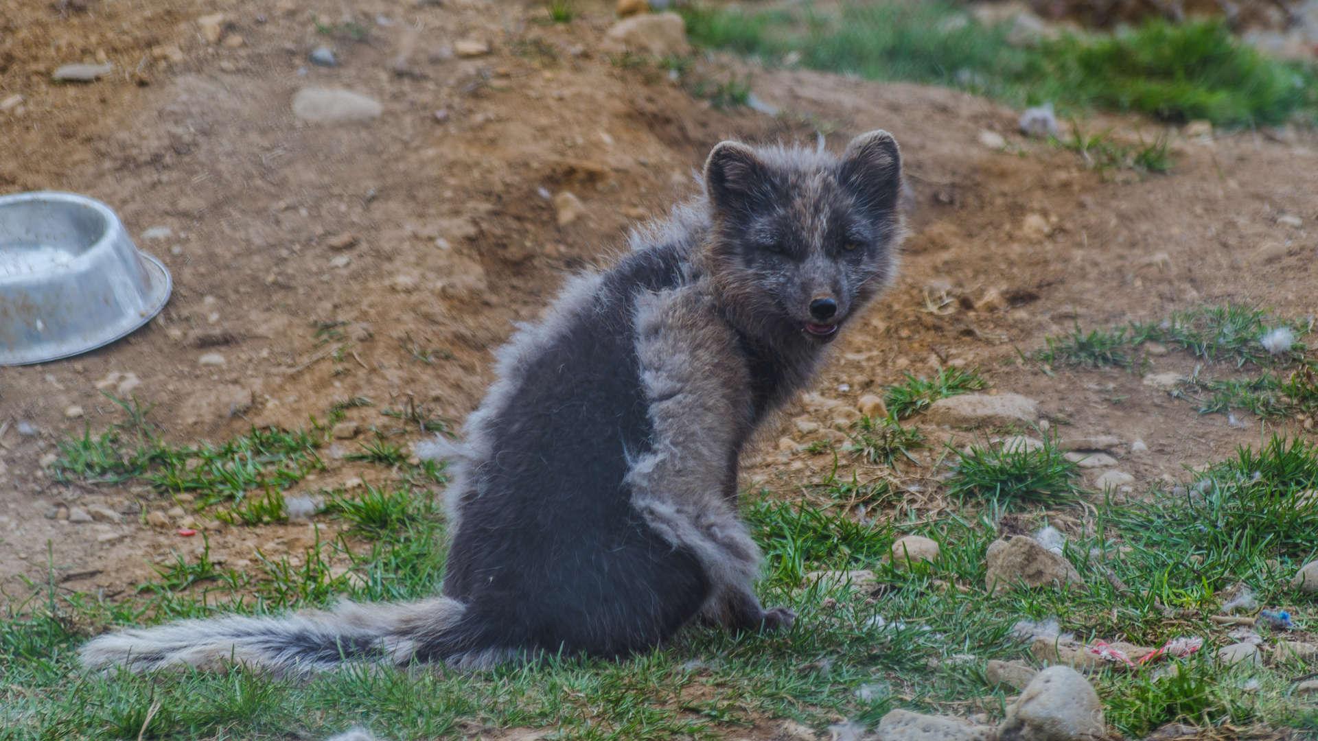 artic fox sudavik, sudavik fox