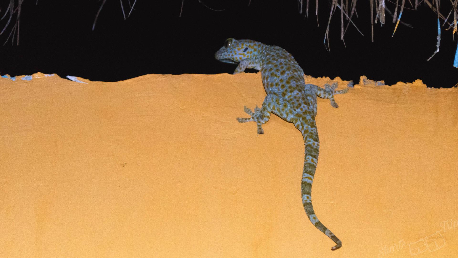 big blue gecko, gecko gili meno, biting gecko