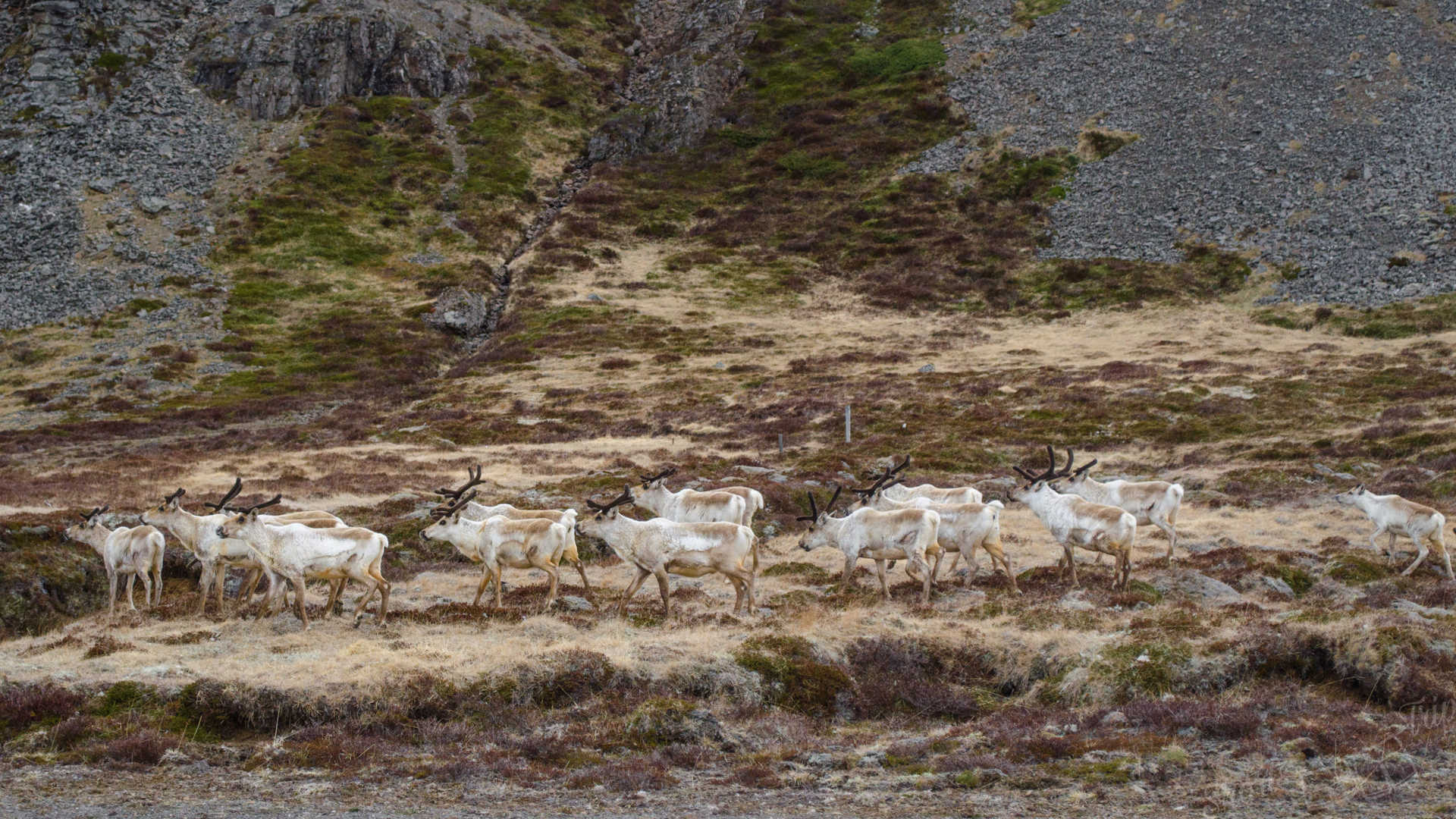 reindeer, reindeer herd, reindeer wild, reindeer iceland, reindeer from car