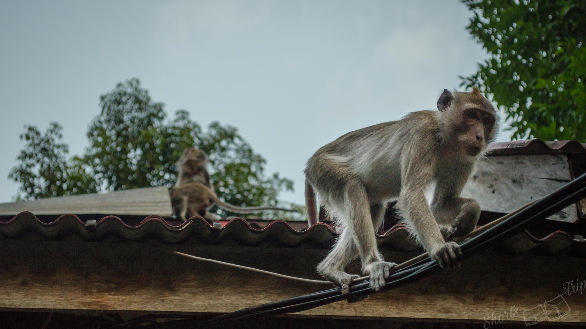 khao sok monkey, khao sok island resort monkey, monkey