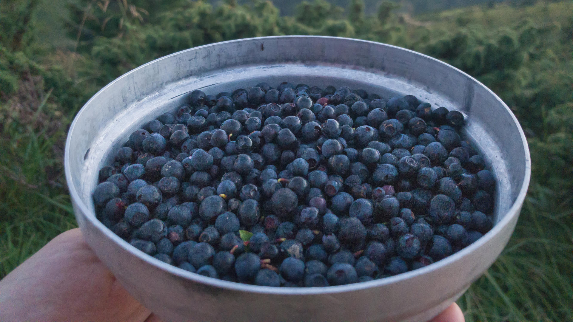blueberries, bluebbery carpathians, blueberries svidovec