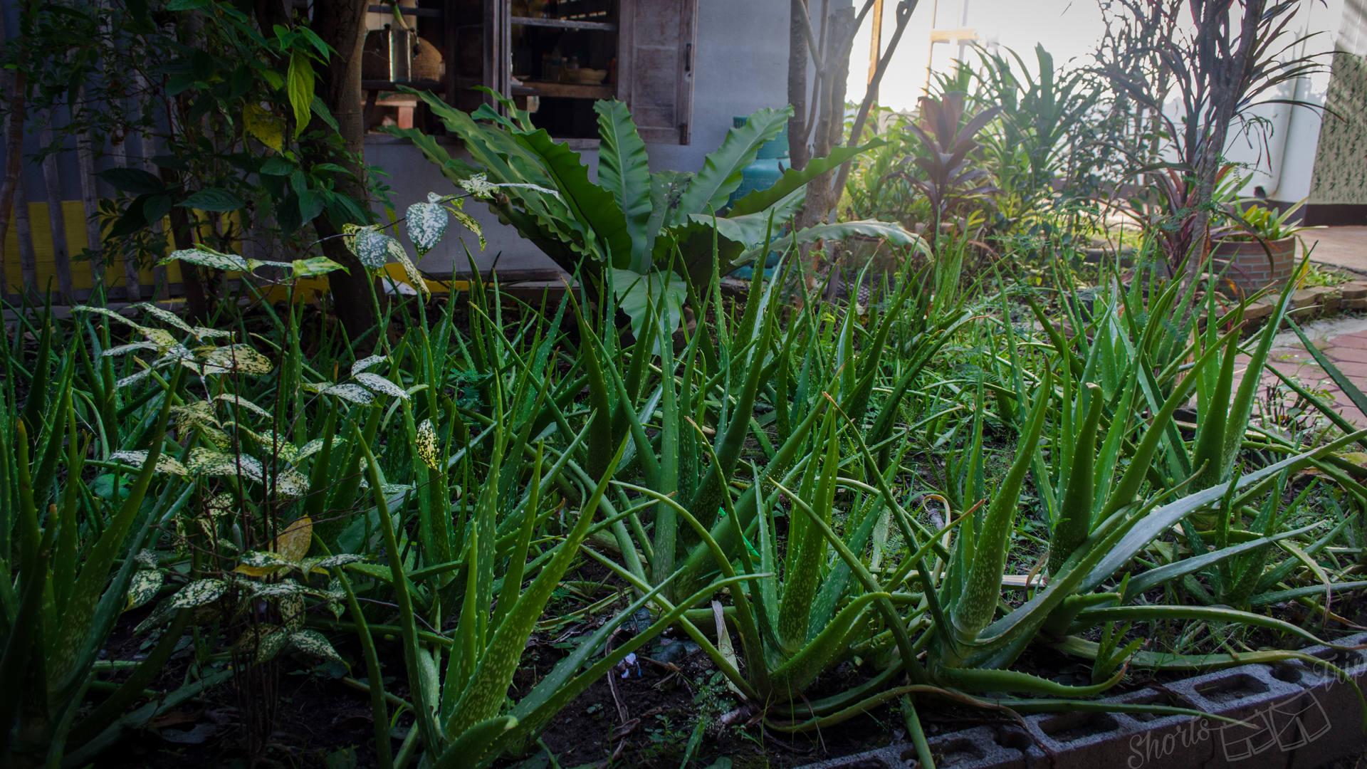 garden thai herbs, aloe vera garden, aloe