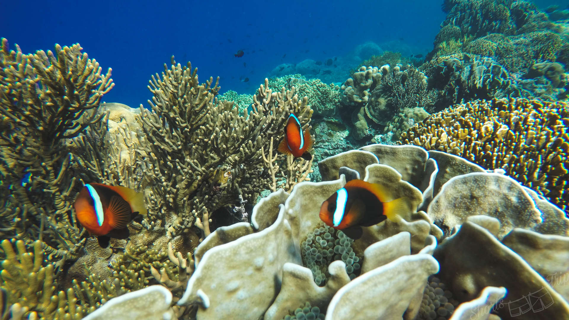 nemo, looking for nemo, banda islands, pulau hatta, hatta island, snorkeling at hatta, snorkelling at hata, hatta snorkeling, best snorkel indonesia, top snorkeling indonesia