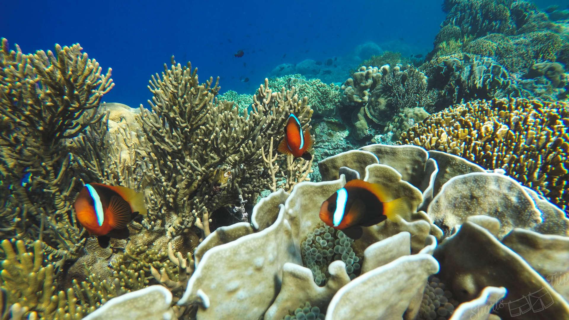nemo, looking for nemo, banda islands, pulau hatta, hatta island, snorkeling at hatta, snorkelling at hata, hatta snorkeling, best snorkel indonesia, top snorkeling indonesia