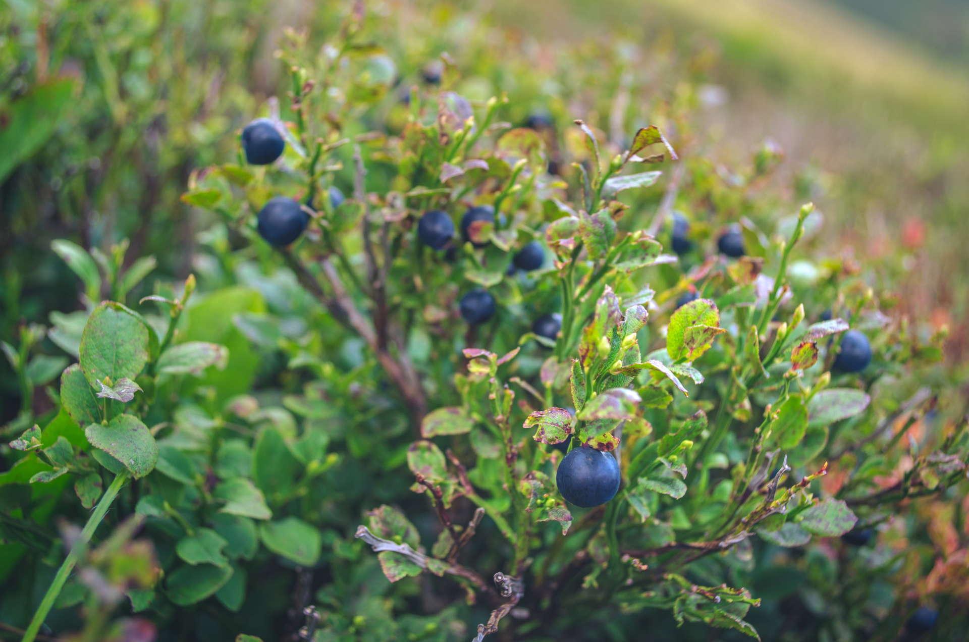 borzava, polonina borzava, ukraine borzava, hiking at borzava, borzava hike, backpacking ukraine, backpacking in karpaty, carpathian mountains, ukrainian carpathians, carpathians, karpaty ukraine, borzava trail, wildcamping ukraine, wildcamping carpathian mountains, best picture from carpathian mountains, blueberry, blueberry polonina, blueberry ukraine, bluberry hike, blueberry carpathians, Polonina Borzava over Stij