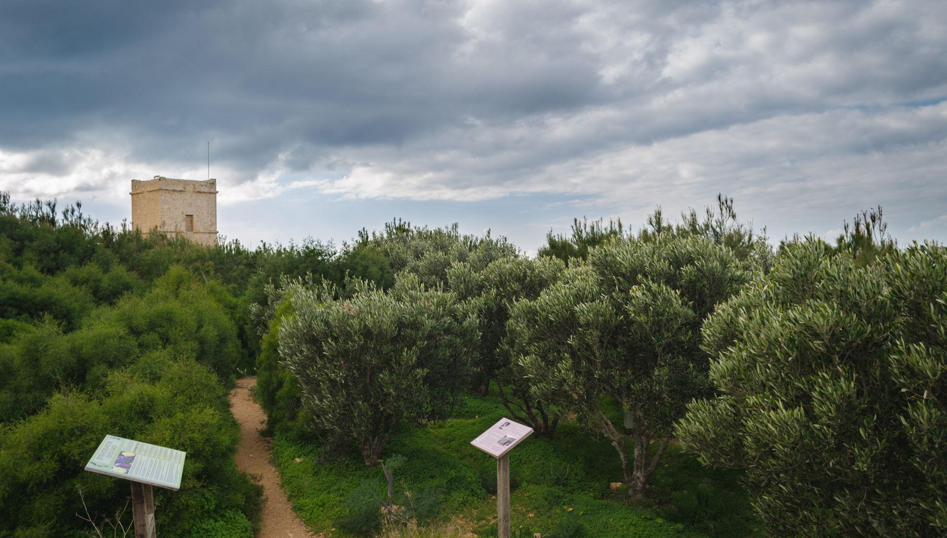 Gaia Peace Grove, olive trees hive malta, olive trees malta, Gaia Peace Grove malta, olive tree medical malta, human rights malta
